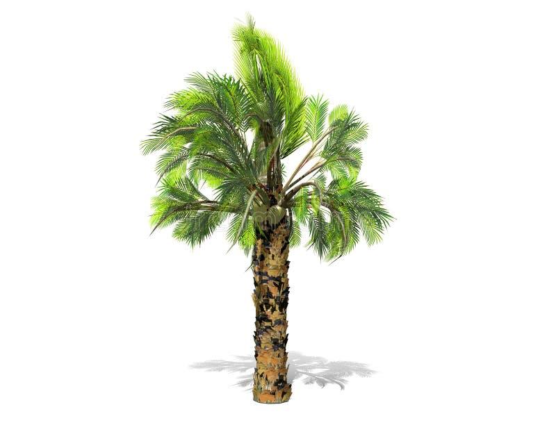 Uma palmeira alta isolada sobre um fundo branco ilustração royalty free