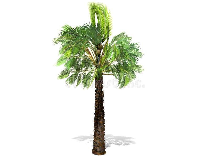 Uma palmeira alta isolada sobre um fundo branco ilustração stock