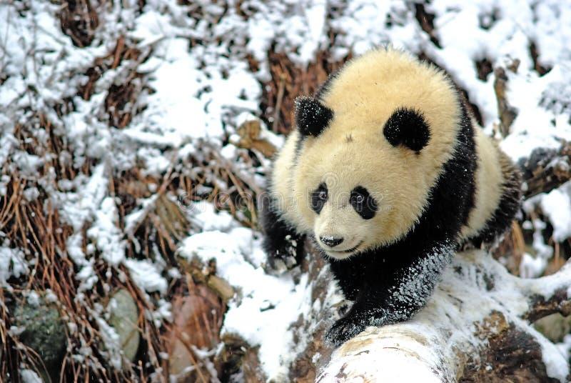 Uma panda do bebê está andando no snowfield no bifengxia imagem de stock royalty free