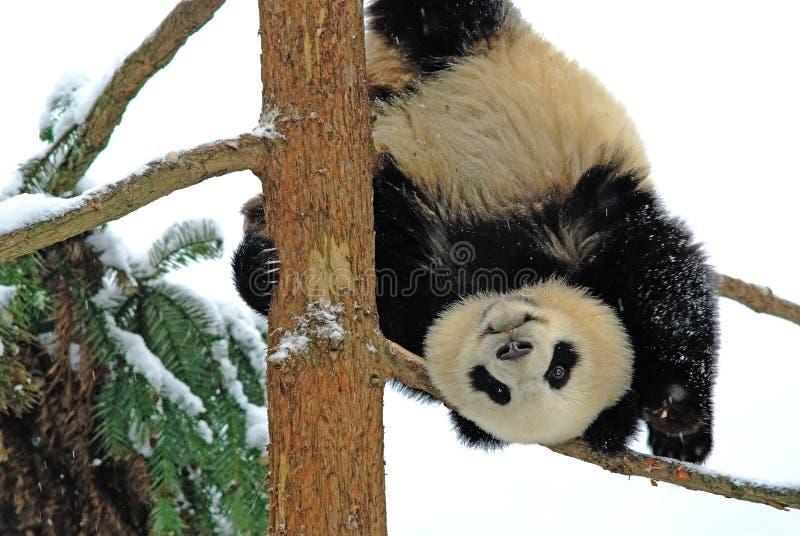 Uma panda do bebê está jogando na árvore no bifengxia fotos de stock
