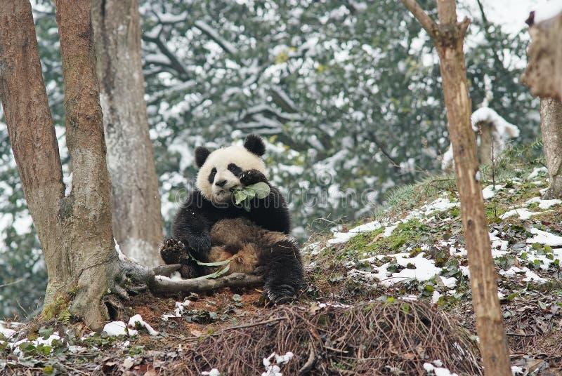 Uma panda do bebê está sentando-se ao lado da árvore no bifengx fotos de stock royalty free