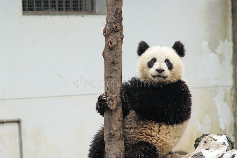Uma panda do bebê está sentando-se ao lado da árvore no bifengxia imagem de stock royalty free