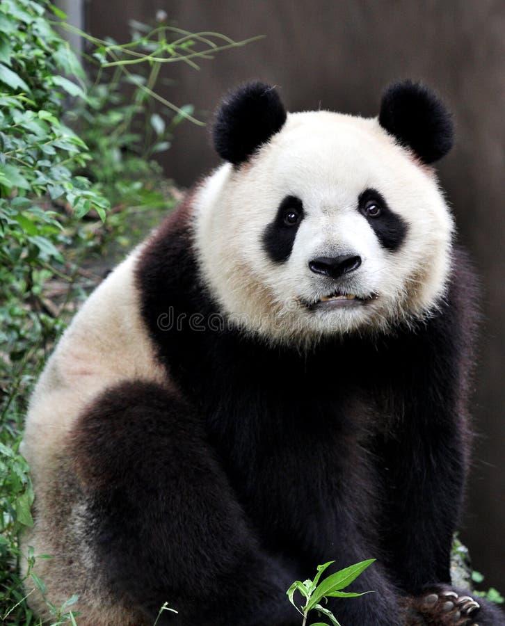 Uma panda gigante imagens de stock