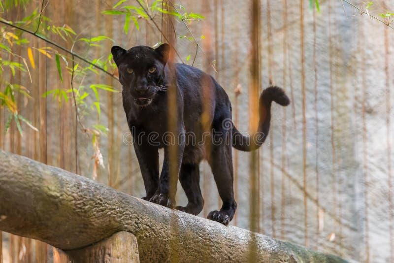 Uma pantera preta é a variação melanistic da cor do gato grande imagem de stock