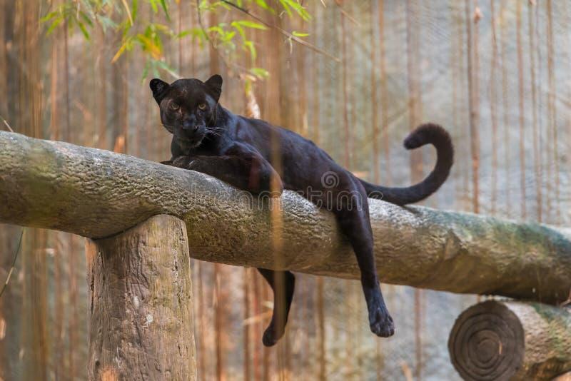 Uma pantera preta é a variação melanistic da cor do gato grande imagens de stock