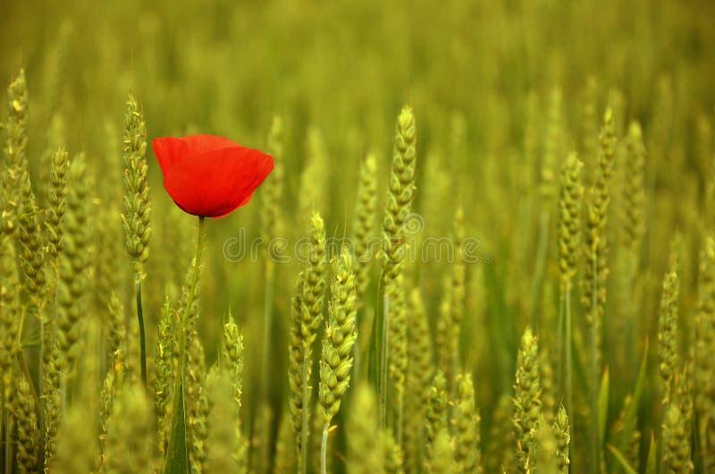 Uma papoila vermelha no campo de trigo fotos de stock royalty free