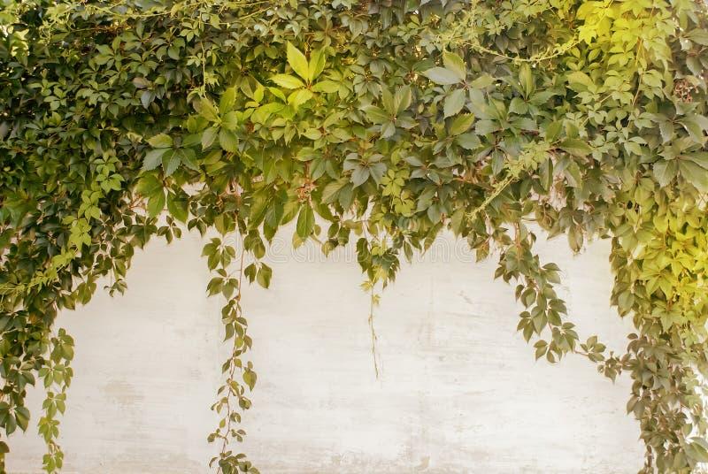 Uma parede com as folhas verdes das uvas que penduram de cima para baixo imagem de stock royalty free