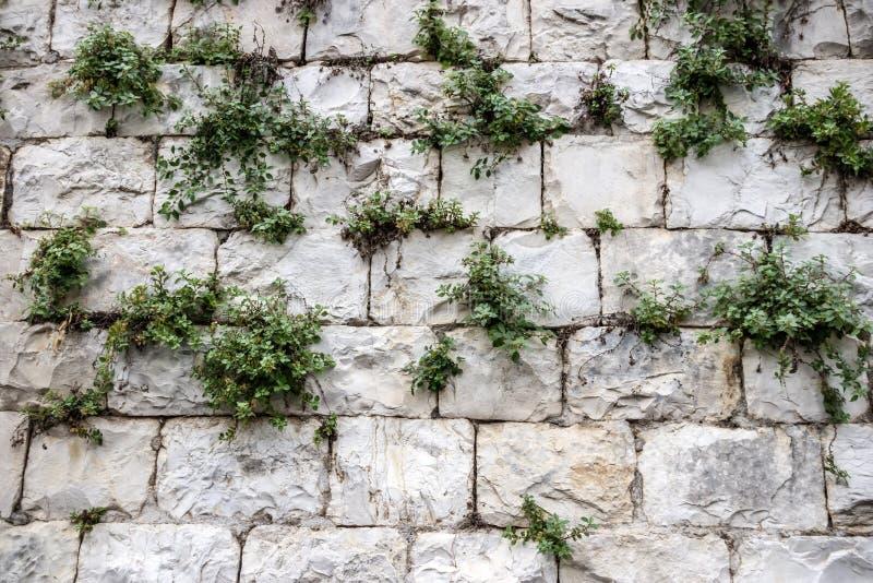 Uma parede de grandes blocos de pedra do Jerusalém com grama verde fotos de stock royalty free