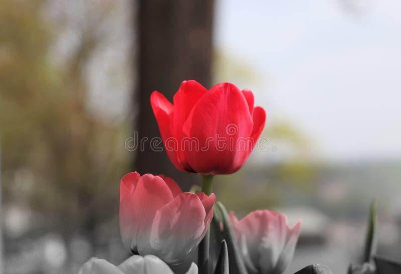 Uma parte da imagem está na cor E o resto está em preto e branco Uma uma tulipa está na cor vermelha bonita Um bom presente para  fotografia de stock