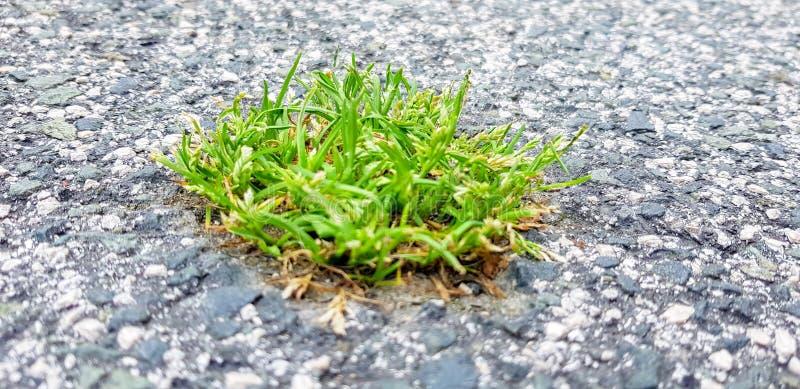 Uma parte de grama é nascida no asfalto Uma imagem que simbolize o poder da natureza sobre a cidade fotografia de stock