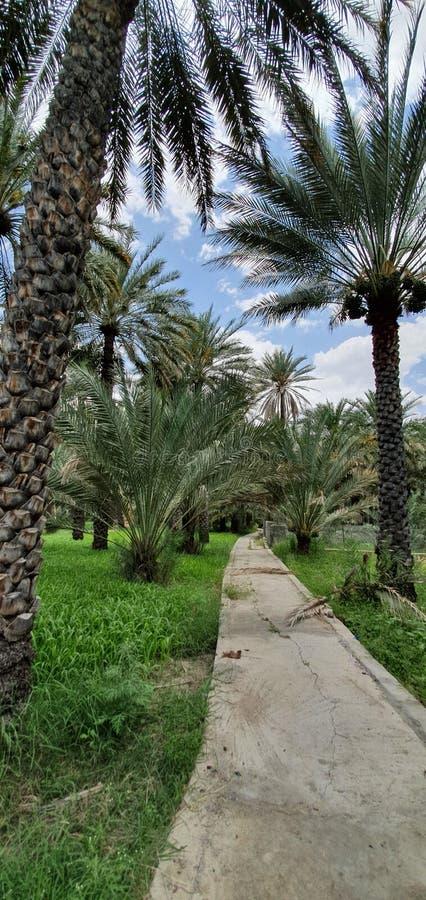 Uma passagem longa entre explorações agrícolas com falaj e a opinião verde do tapete do sultanato de Omã - Al Hamra fotografia de stock