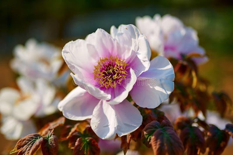 Uma peônia de florescência fotografia de stock royalty free