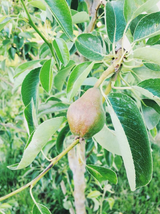 Uma pera pequena que cresce em um membro fotografia de stock royalty free
