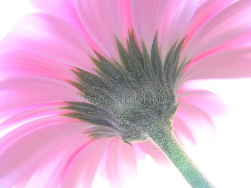 Uma perspectiva disparou de um gerbera cor-de-rosa fotografia de stock