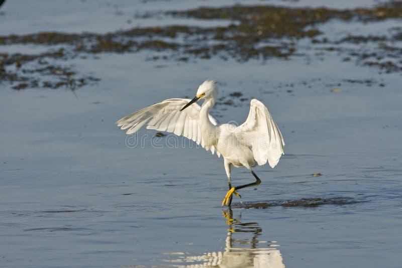 Uma pesca nevado do Egret para uma refeição fotos de stock