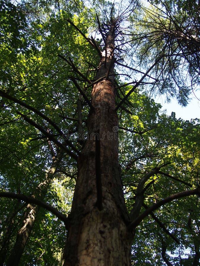 Uma pinho-madeira inoperante fotos de stock