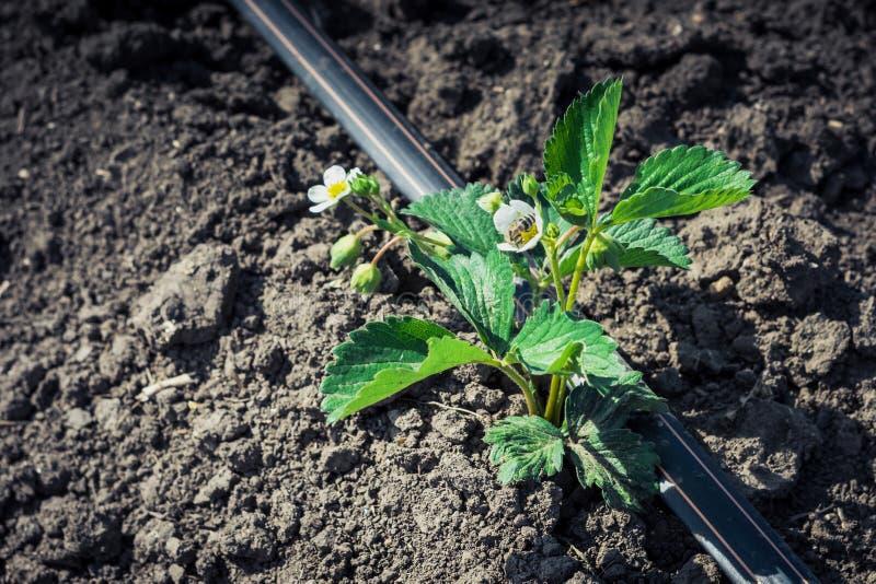 Uma plântula da morango com uma flor na irrigação de gotejamento fotos de stock