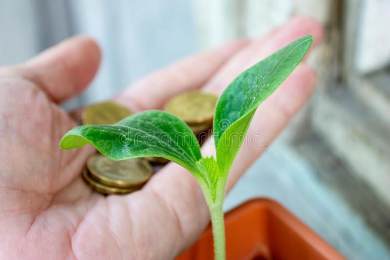 Uma plântula verde do abobrinha e de uma mão com as moedas no fundo - economia e conceito crescente financeiro fotografia de stock