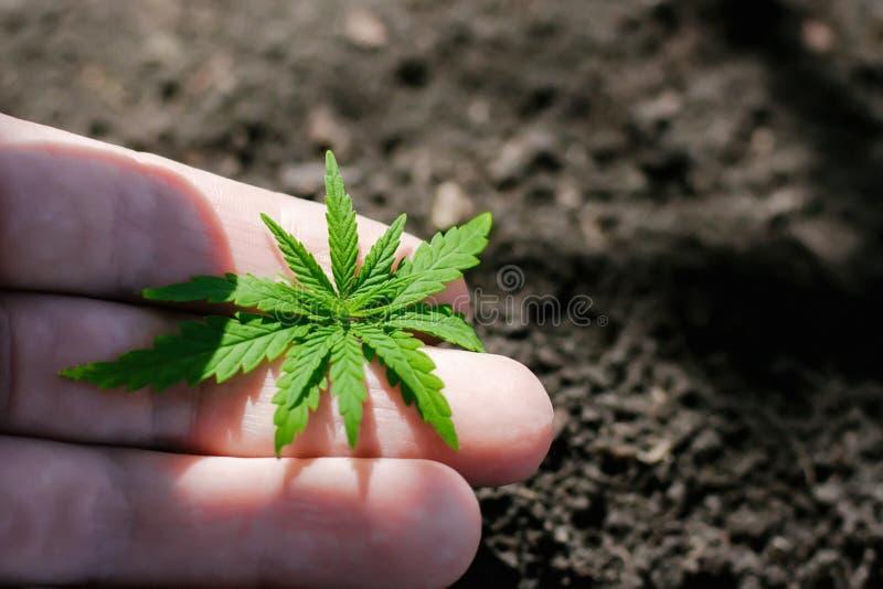 Uma plântula verde nova do cannabis à disposição em um fundo borrado com o solo plantado na terra C?nhamo crescente imagem de stock royalty free