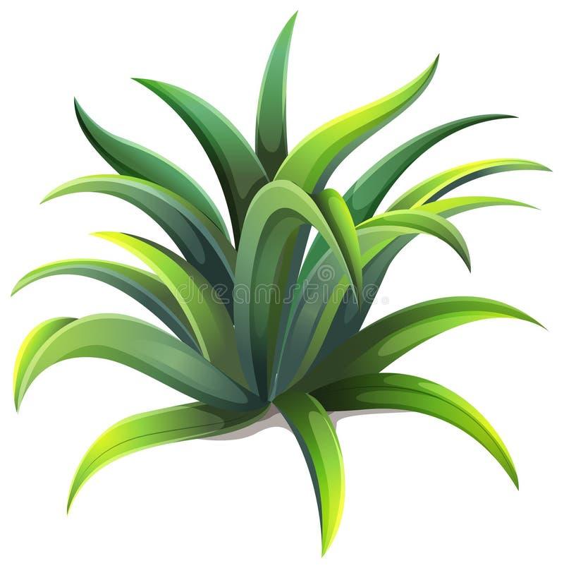 Uma planta da agave do anão ilustração do vetor