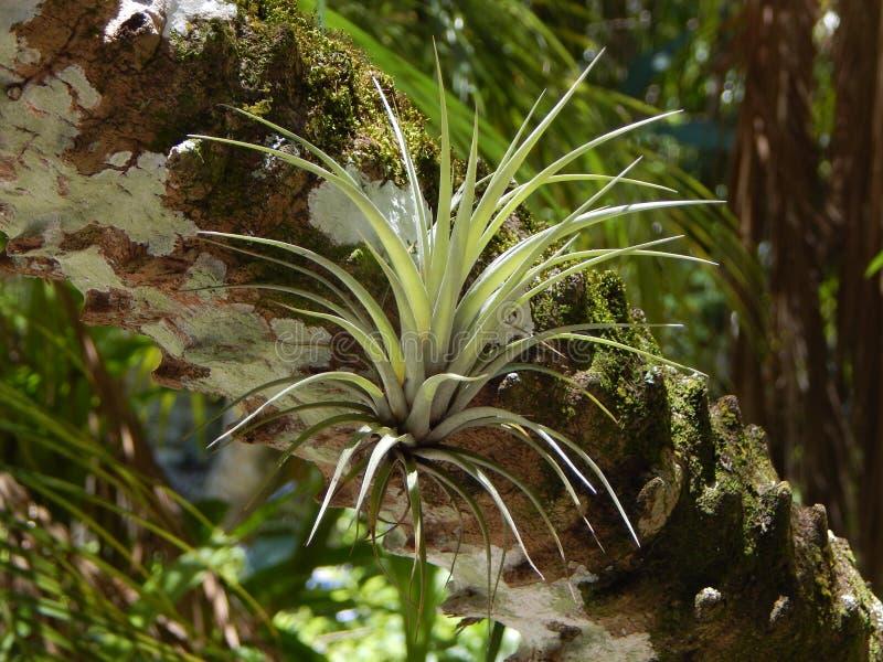 Uma planta de ar em uma palma foto de stock royalty free