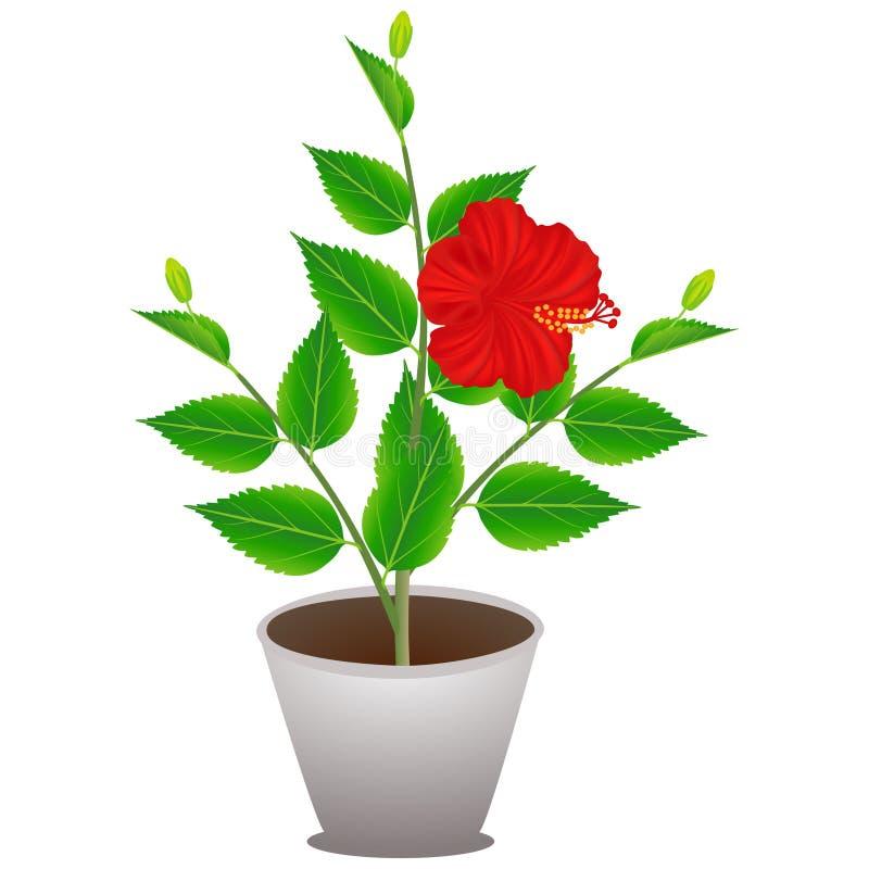 Uma planta de florescência do hibiscus em um potenciômetro em um fundo branco ilustração do vetor