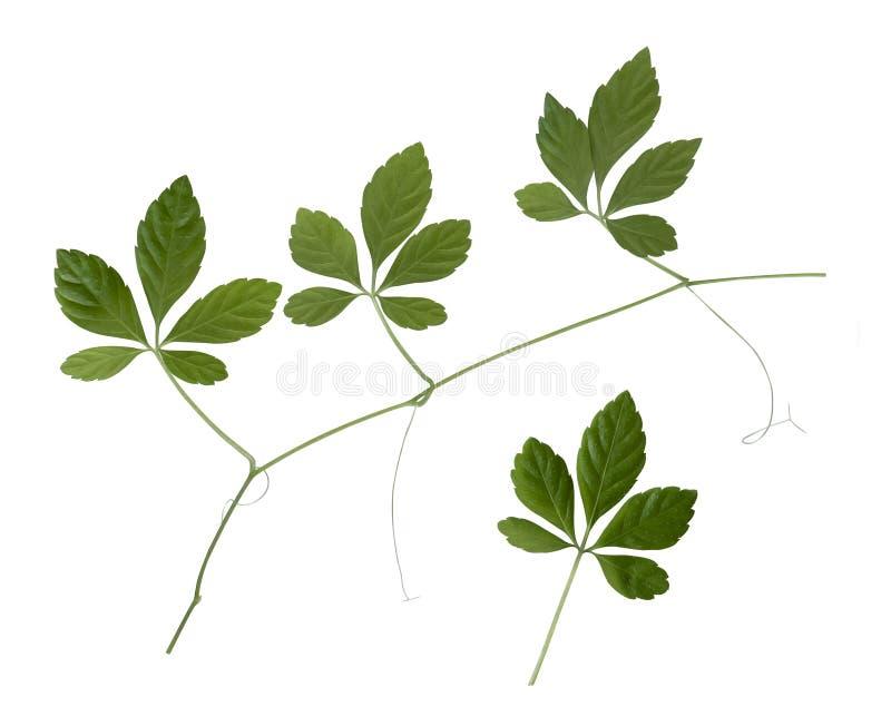 Uma planta de Jiaogulan com algumas folhas verdes fotos de stock royalty free