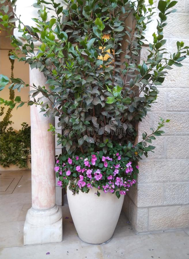Uma planta em pasta grande com flores roxas e as folhas verdes no Jerusalém fotos de stock royalty free