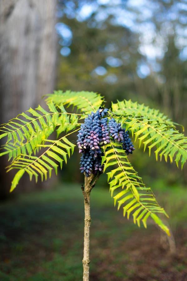 Uma planta gosta da uva imagem de stock
