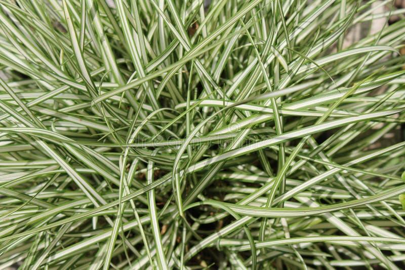 Uma planta para o jardim de rocha Close-up de um grupo de grama do Carex, variedade do oshimensis do Carex fotografia de stock