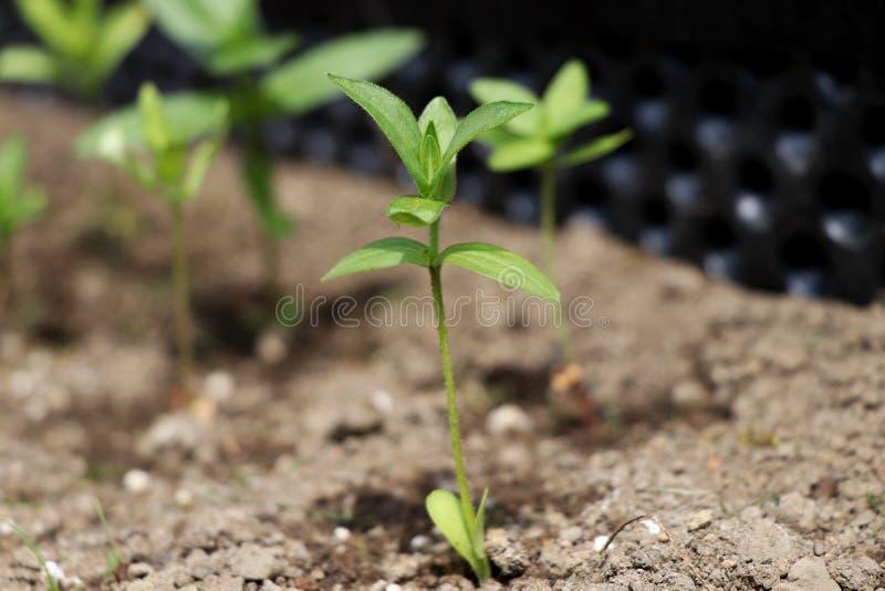 Uma planta um pequeno igualmente conhecida como a plântula As plantas novas da era estão aqui esta primavera fotografia de stock royalty free