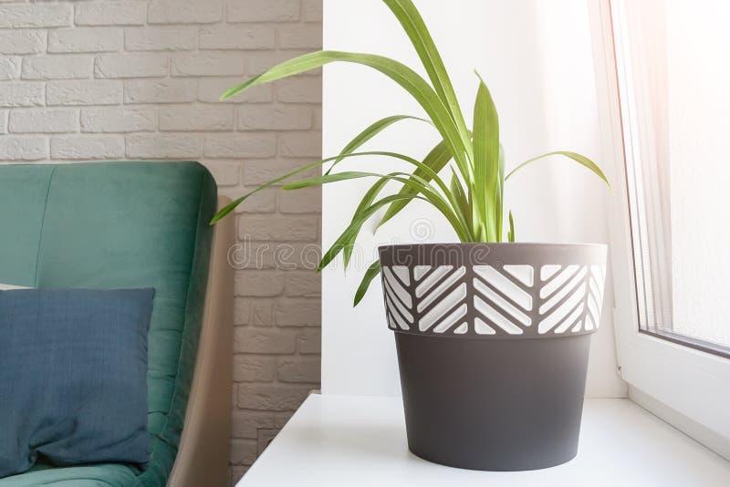 Uma planta verde em um potenciômetro de flor preto e branco está em um peitoril branco ensolarado da janela em uma sala de visita foto de stock