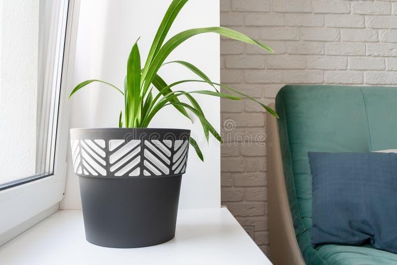 Uma planta verde em um potenciômetro de flor preto e branco está em uma soleira branca limpa em uma sala de visitas moderna foto de stock royalty free