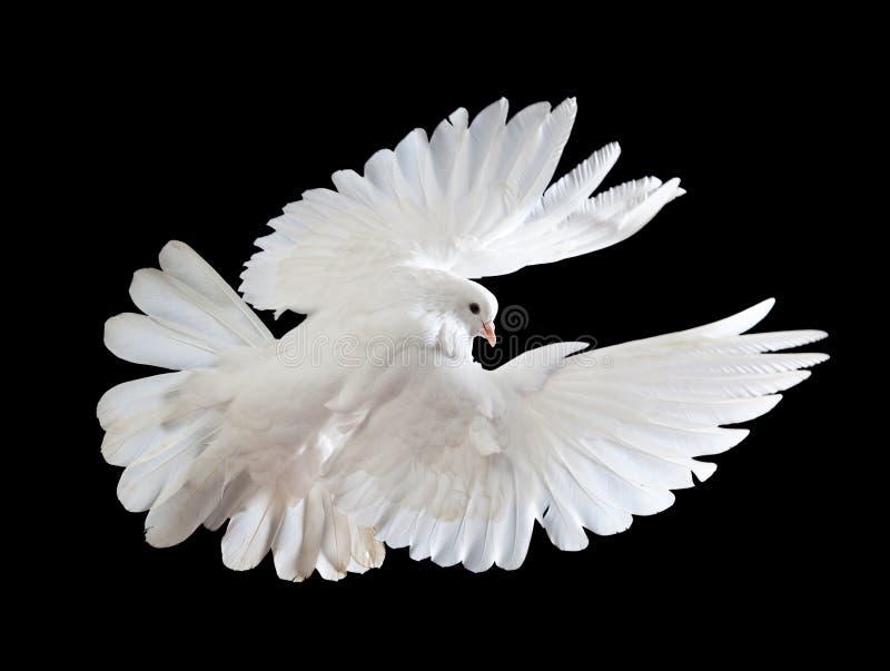 Uma pomba branca do vôo livre isolada em um preto imagem de stock