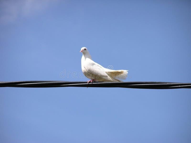 Uma pomba do branco imagem de stock