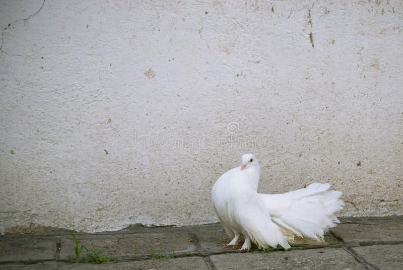 Uma pomba do branco foto de stock