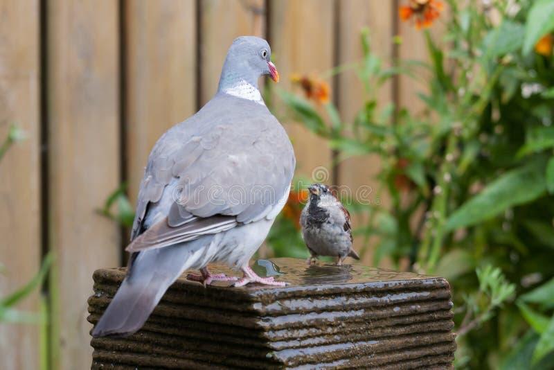 Uma pomba encontra um pardal de casa em uma fonte imagem de stock