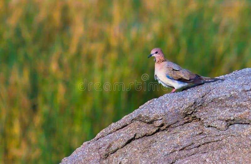 Uma pomba que senta-se na rocha em seu habitat natural fotos de stock