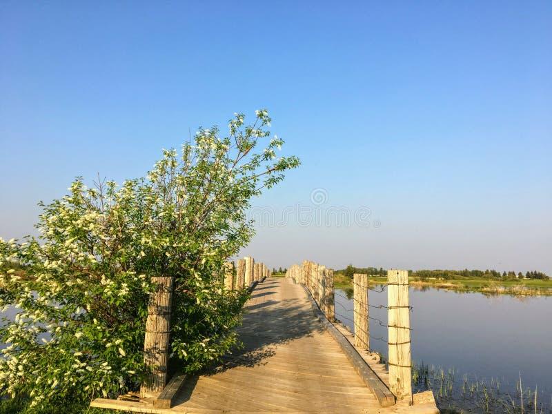 Uma ponte de madeira longa pequena velha do pé cruza sobre uma lagoa pantanoso bonita em uma noite bonita do verão em Edmonton, A foto de stock