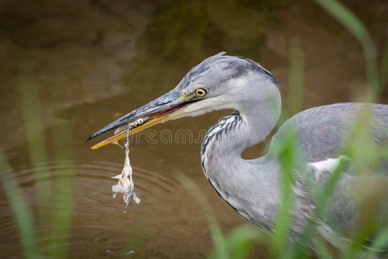 Uma posição cinzenta da garça-real em um rio pequeno e comer um peixe fotos de stock royalty free