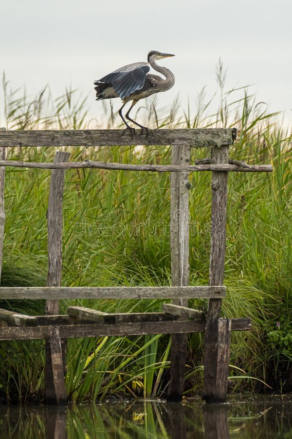 Uma posição cinzenta da garça-real em um suporte de madeira imagem de stock royalty free