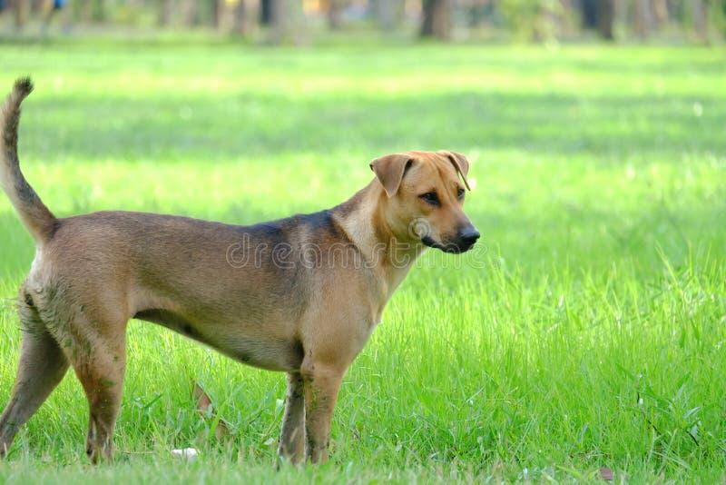 Uma posição marrom tailandesa do cão no campo de grama verde imagem de stock royalty free