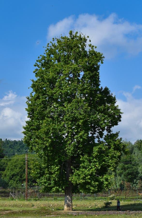 Uma posição só da árvore no campo com fundo do céu azul na Índia de Kashmir fotografia de stock royalty free