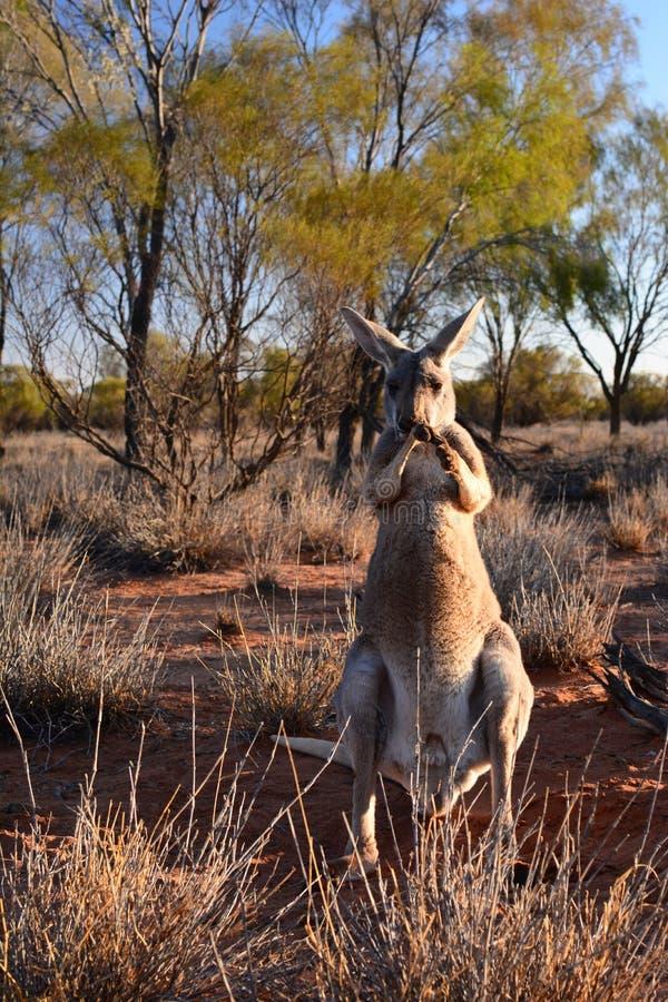 Uma posi??o vermelha do canguru no santu?rio do canguru Alice Springs Territ?rio do Norte austr?lia fotos de stock royalty free