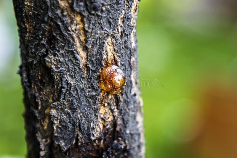 Uma protuberância de resina de secagem em uma árvore de cereja fotografia de stock