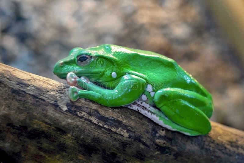 Uma rã verde imagem de stock