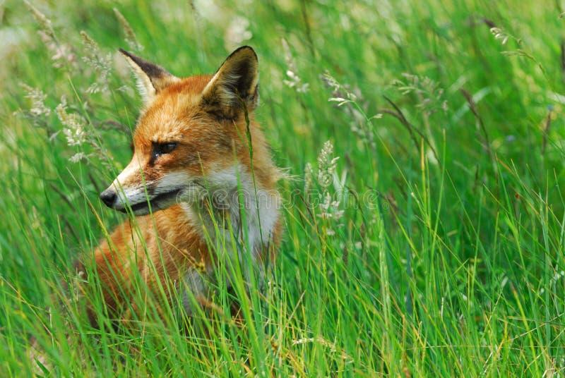 Uma raposa bonita (vulpes do Vulpes) fotografia de stock royalty free