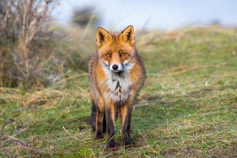 Uma raposa curiosa está perguntando quase o que eu quero fazer imagem de stock