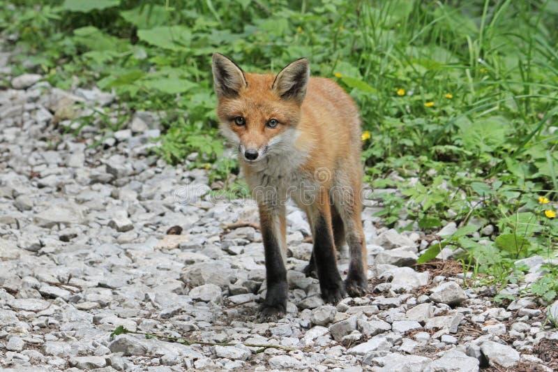 Uma raposa nova curiosa que olha a câmera foto de stock