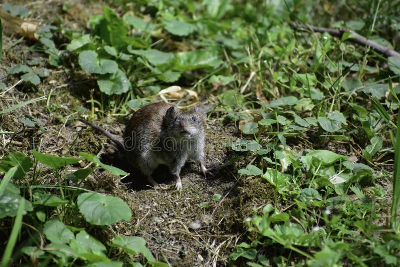 Uma ratazana comum ( microtus arvalis) olha o athuman e pensa o que fazer imagem de stock royalty free